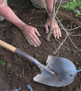 Фото посадки саженца вишни, liveinternet.ru