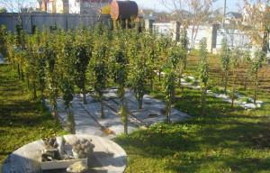 На фото - посадка саженцев колонных яблонь, sadovod.etov.com.ua
