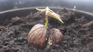 На фото - посадка грецкого ореха, files.ub.ua