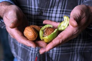 Фото выращенного своими руками грецкого ореха, builderonline.ru