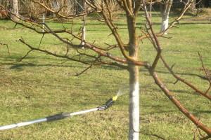 Как укрыть яблони на зиму – опыт поколений садоводов фото