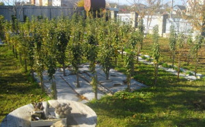 Укрытие колоновидных яблонь на зиму фото