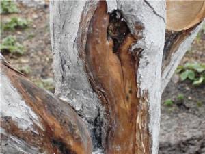 На фото - высушенная кора деревьев, supersadovod.ru