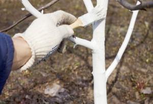 На фото - побелка стволов деревьев на зиму, diz-cafe.com