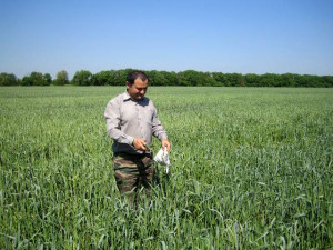 Внекорневая подкормка пшеницы карбамидом – залог отличного урожая фото