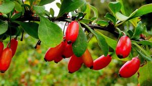 Когда собирать ягоды – барбарис полезен всем!