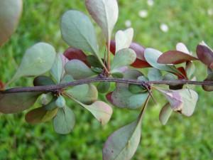 Сбор барбариса – полезные качества и области применения