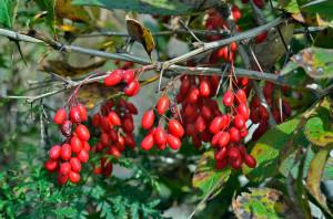 Барбарис – проводим сбор ягод