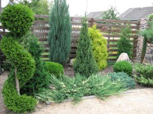Хвойные кустарники – сажаем декоративные растения правильно