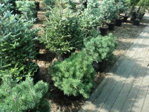 Хвойные кустарники – сажаем декоративные растения правильно фото