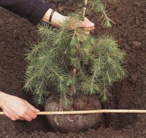 Высаживаем декоративные деревья и кустарники на участке