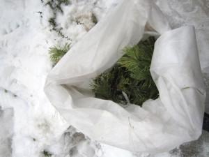 Укрытие на зиму туи – защищаем взрослые деревья