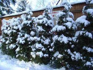 Укрытие на зиму туи – защищаем взрослые деревья фото