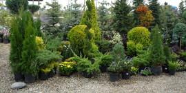 Хвойные декоративные кустарники – красивое рядом!