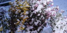 Как укрыть хризантемы на зиму – помогаем цветам пережить холода