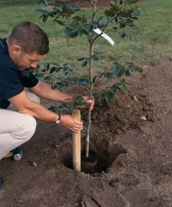 На фото - летняя техника посадки саженцев деревьев для сада, 2do2go.ru