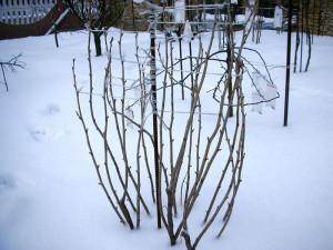 На фото - обвязывание кустов смородины на зиму, myogorod.ru