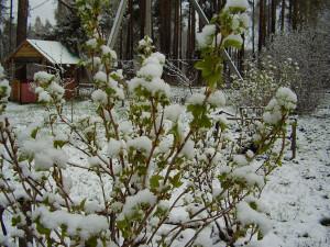 Фото куста смородины под снегом, nevskyangel.ucoz.ru