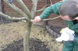 Фото подготовки саженца вишни к холодам, soweren.ru