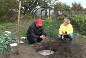 На фото - удобрение саженца вишни перед зимой, youtube.com