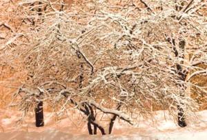 Фото вишни под снежным покровом, hiero.ru