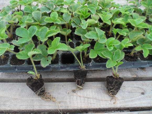 Выращивание усов на рассаду 244