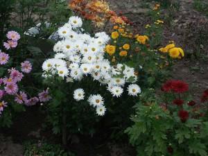 Как укрыть хризантемы, не повредив растения – утепляемся на зиму