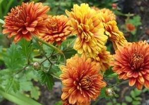 Как укрыть хризантемы, не повредив растения – утепляемся на зиму фото