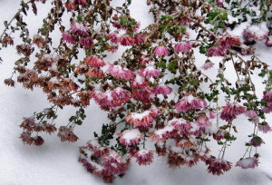 Укрытие хризантем – выращиваем в открытом грунте