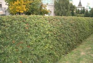Виды густых декоративных кустарников, пользующиеся популярностью