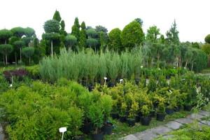 Декоративно-лиственные и хвойные кустарники для зеленой изгороди