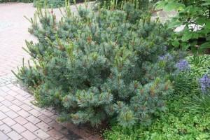 Декоративно-лиственные и хвойные кустарники для зеленой изгороди фото