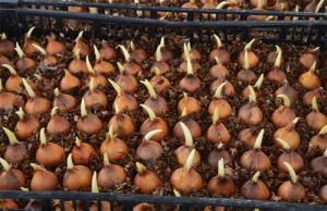 На фото - мелкие луковицы ирисов, tulips.com.ua