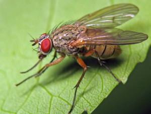 Фото капустной мухи, udec.ru