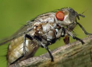 На фото - весенняя капустная муха, udec.ru