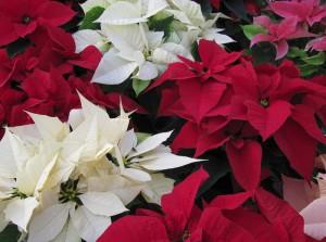 Комнатные цветы – прекрасная пуансетия
