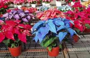 Комнатные цветы – прекрасная пуансетия фото