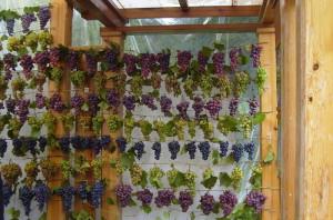 Чем отличаются винные сорта винограда от столовых?