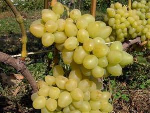 Чем отличаются винные сорта винограда от столовых? фото