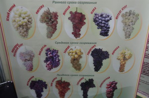 Сорта винограда для изготовления вина в частном хозяйстве