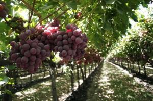 Сорта винограда для изготовления вина в частном хозяйстве фото