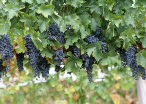 Лучшие винные ранние сорта винограда для Подмосковья
