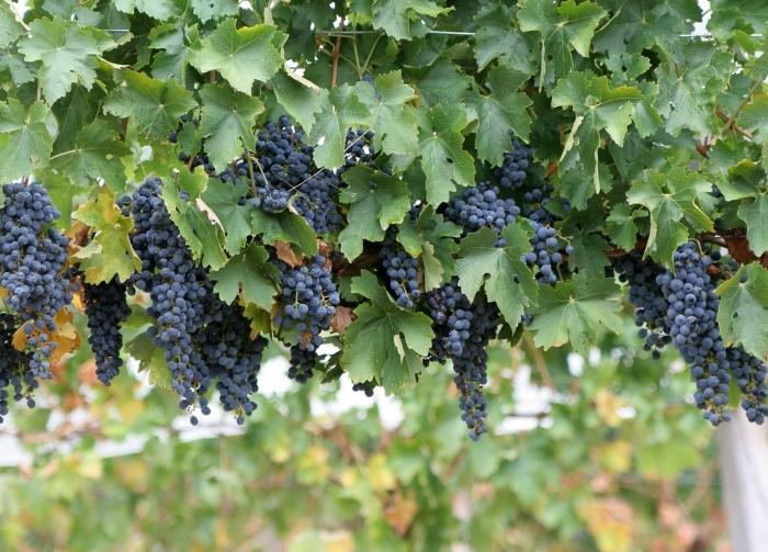 Схема формирования винограда