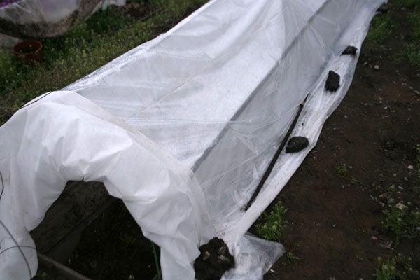 сорт винограда абу-хасан фото и описание