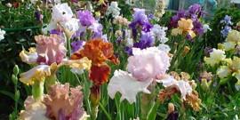 Посадка и уход за ирисами весной