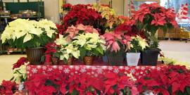 Цветок пуансетия – особый уход за нежным растением