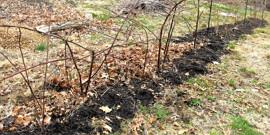 Подготовка ежевики к зиме – обрезка и укрытие кустарников