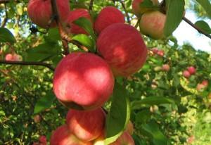 Фото плодоношения яблони, liveinternet.ru