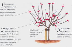 Фото формирования кроны яблони, tavia.kiev.ua