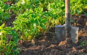 Фото рыхления почвы между рядами клубники, ogorodsadovod.com